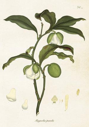 Magnolia Pumila 35x50