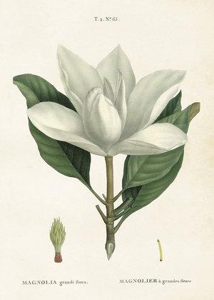 Magnolia 50x70