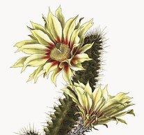 Blommande Kaktus 30x40