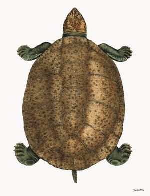 Sköldpadda 20x25