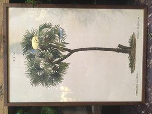 Palm 35x50